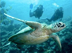 Divers swim with sea turtle on reef