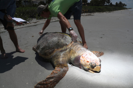 A large number of sea turtles are washing up on Sanibel and Captiva beaches. The suspected cause is red tide poisoning. (Photo: Andrew West/The News-Press)
