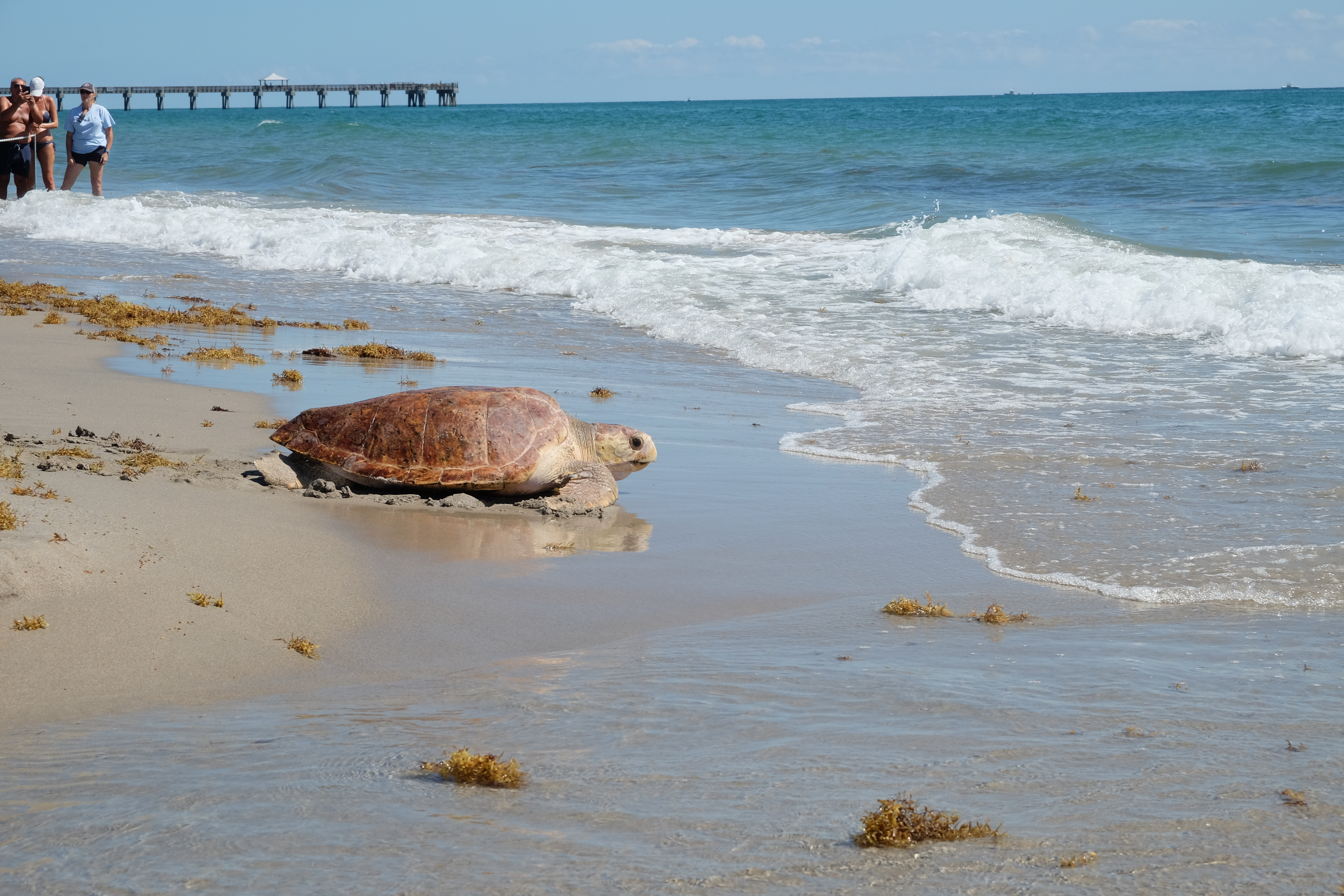 Corwin the sea turtle release