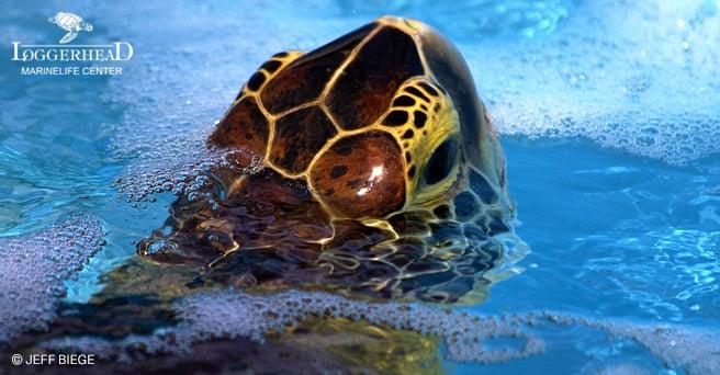 af_biege_turtle3