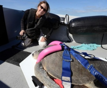 release of Meghan, Olive Ridley in Key West