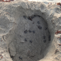 cm-hatchlings-trapped-in-manmade-hole-by-jen-photo-1