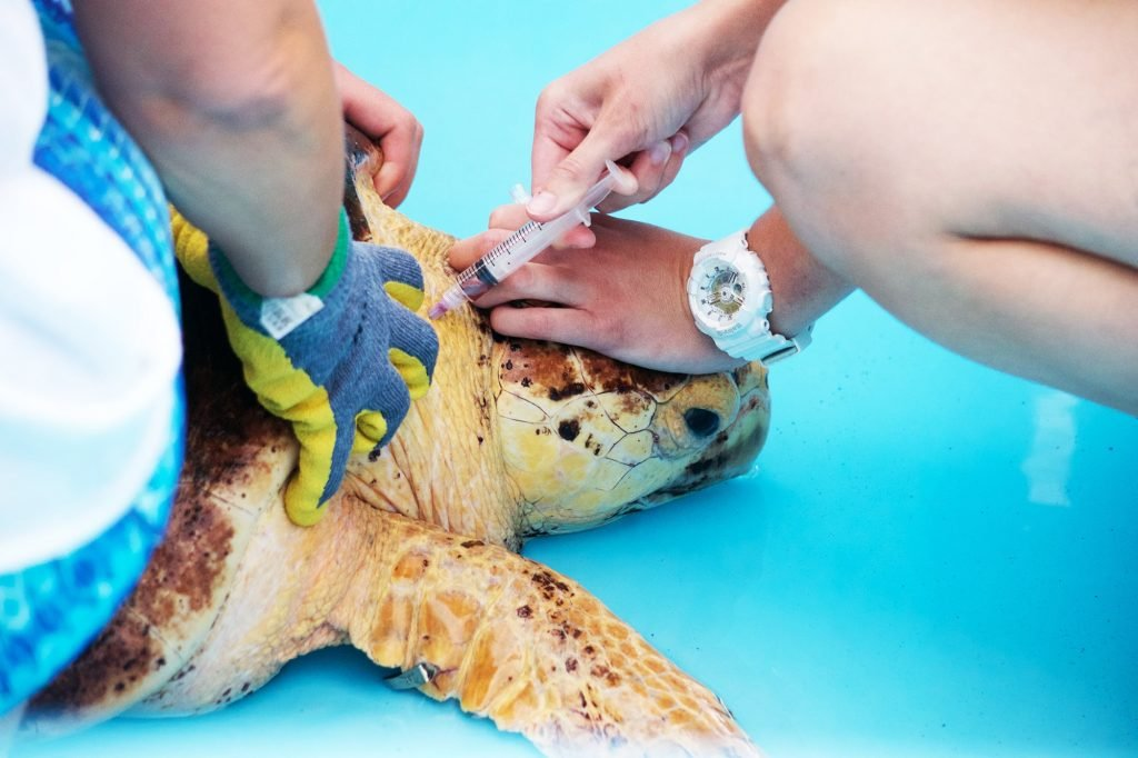 A sea turtle patient receives critical care in Loggerhead Marinelife Center's Outdoor Sea Turtle Hospital.