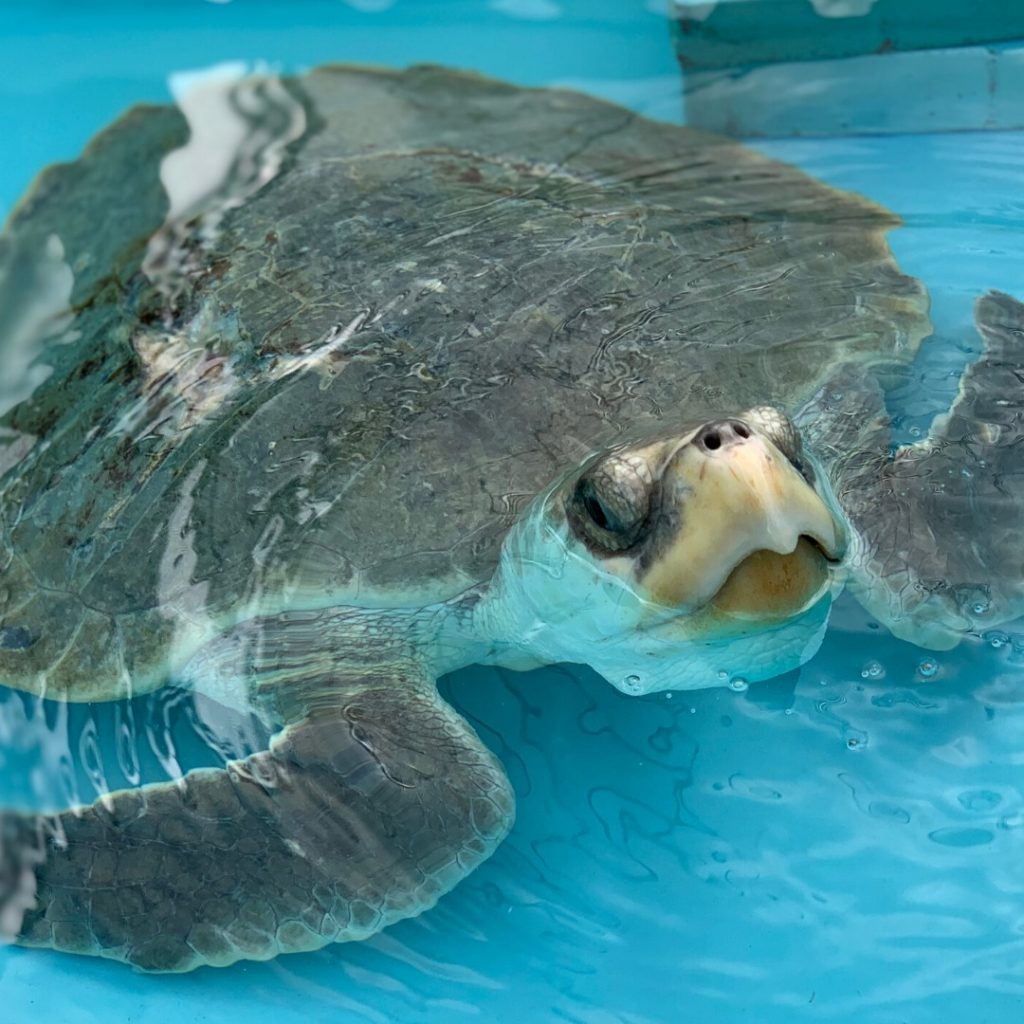 Fortin, a Kemp's ridley, is a sea turtle patient at Loggerhead Marinelife Center.