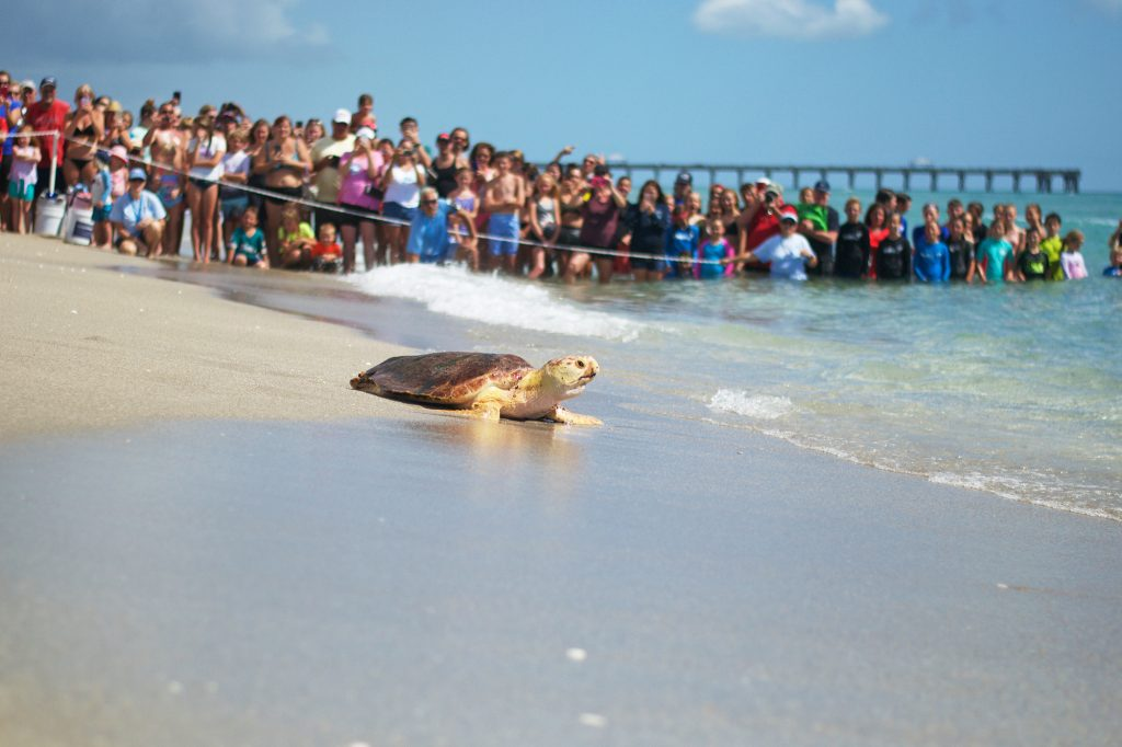 LMC welcomes supporters to attend its public sea turtle releases, which are located on the beach adjacent to the Center.