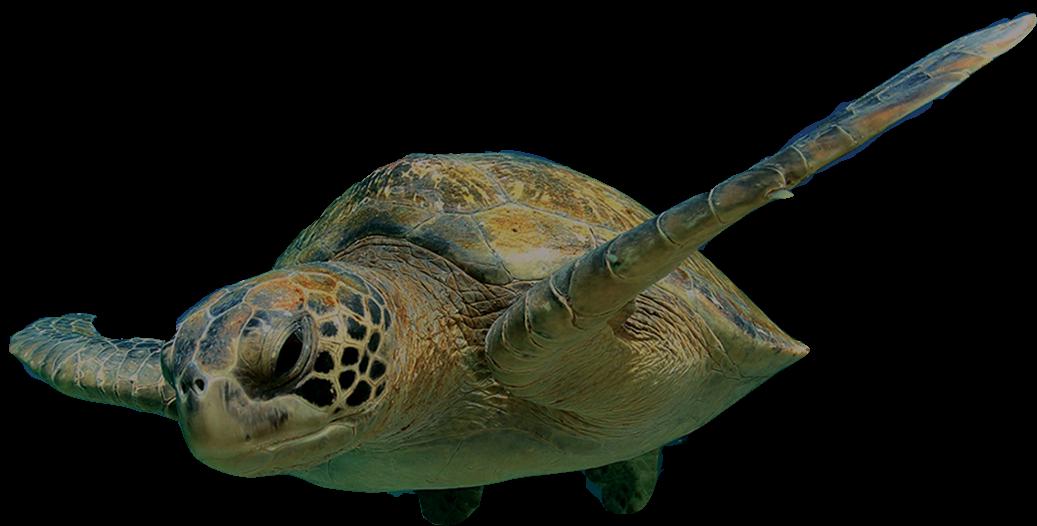 571dd-turtle-swimming