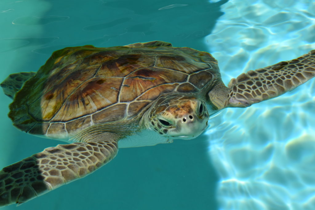 Loggerhead Marinelife Center's campus and sea turtle hospital will reopen to guests on Monday, May 18th.