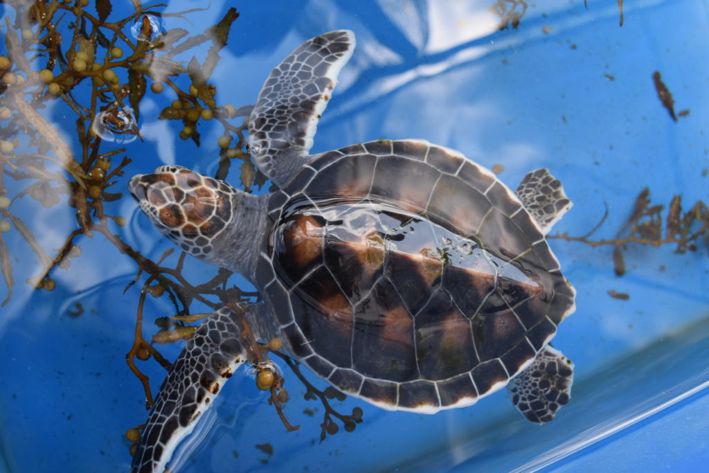Loggerhead Marinelife Center provides critical care for over 100 sea turtles and 1,000 hatchlings each year.