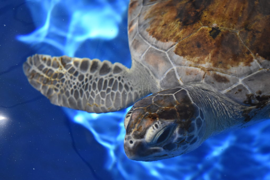 Loggerhead Marinelife Center celebrates Endangered Species Day by highlighting its sea turtle patients, including Lola (pictured above).