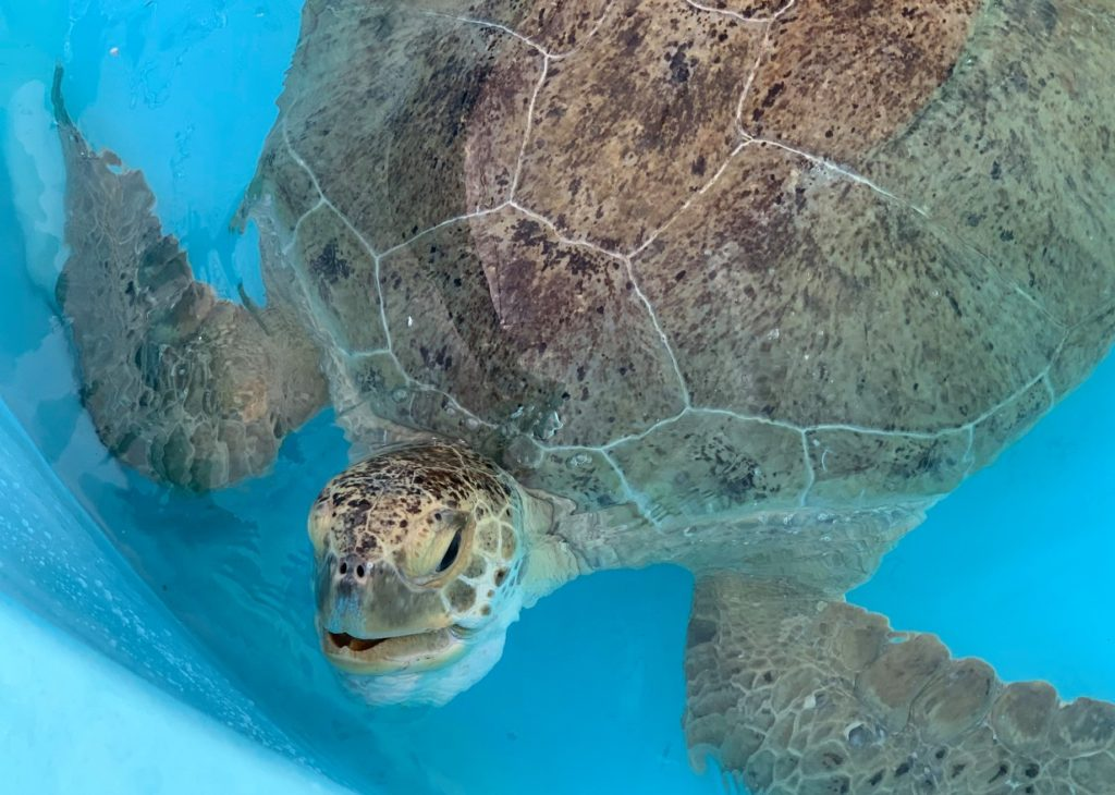 Loggerhead Marinelife Center receives sea turtles unintentionally struck by a boat, such as Galapagos, which is a green sea turtle.