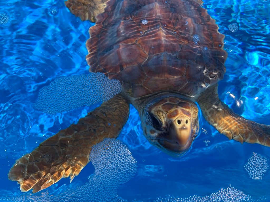 Zubey is a juvenile loggerhead sea turtle at patient at Loggerhead Marinelife Center.