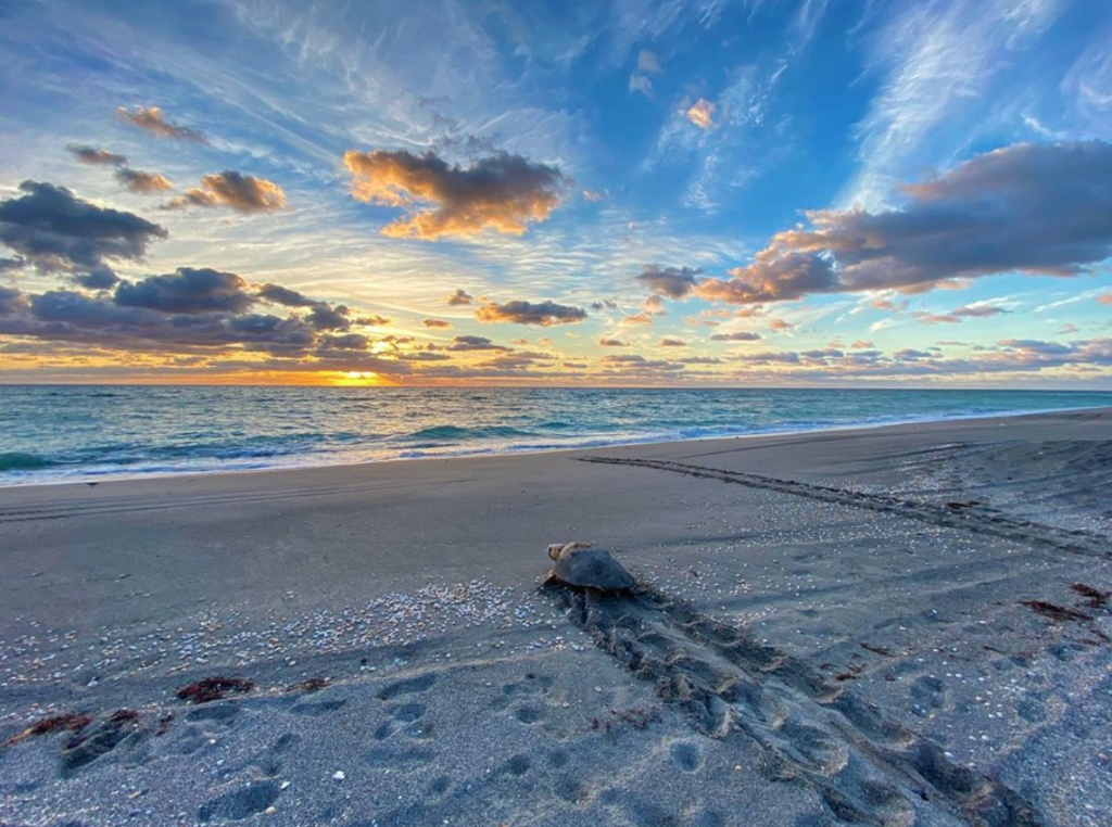 Jen Reilly captures a loggerhead sea turtle returning to the ocean after laying a nesting during the 2020 nesting season.