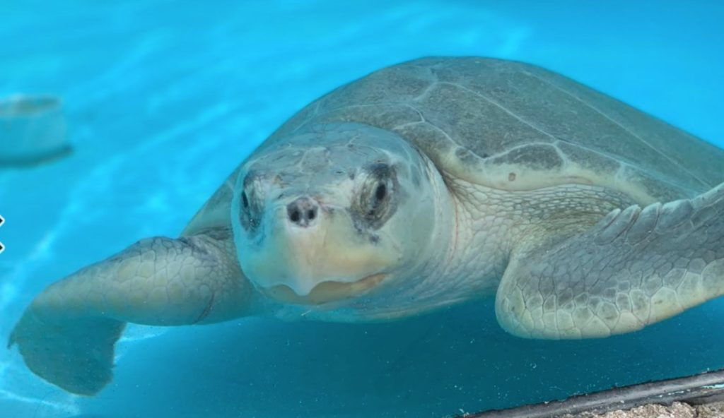 Unfortunately, Intrepid arrived to Loggerhead Marinelife Center after becoming entangled in marine debris.