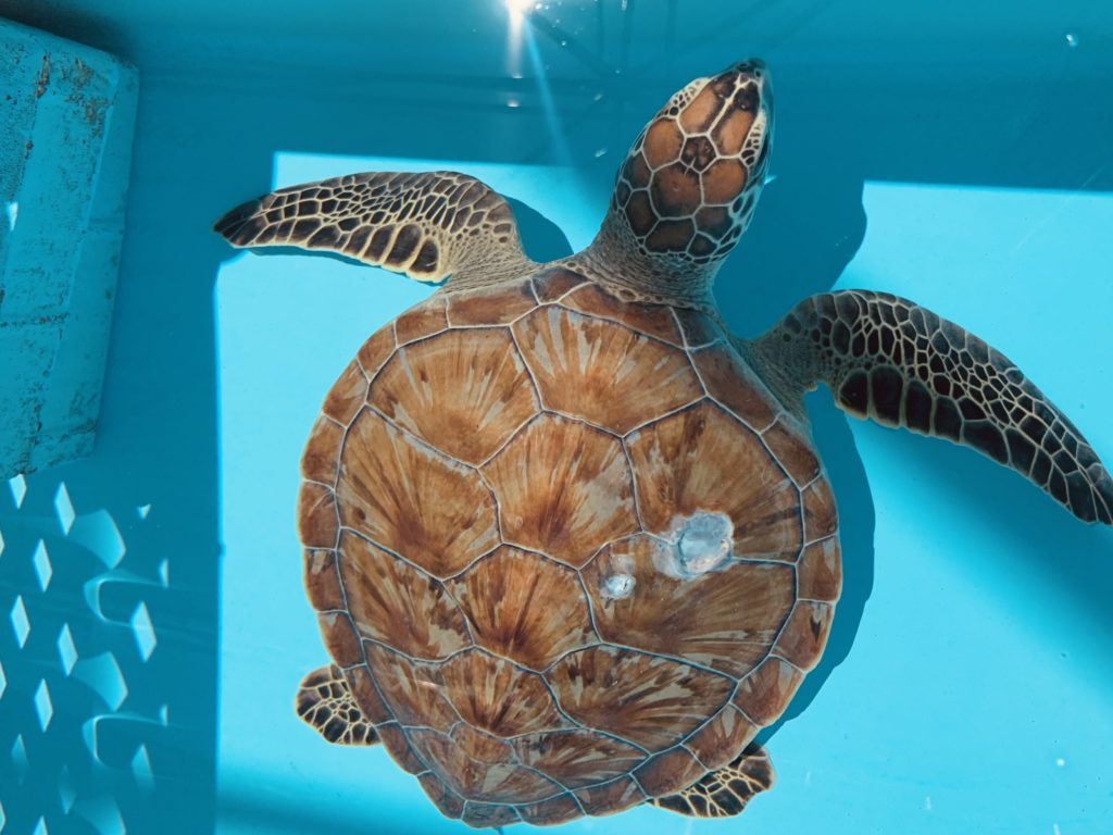 Loggerhead Marinelife Center celebrates World Sea Turtle Day by highlighting several of its patients, such as Marci - a patient unintentionally struck by a boat.