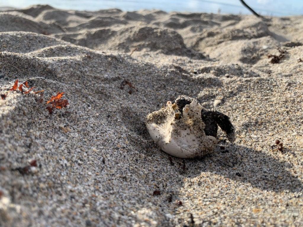 During the 2020 sea turtle nesting season, LMC documented 16,935 sea turtle nests marking its third-highest season on record.