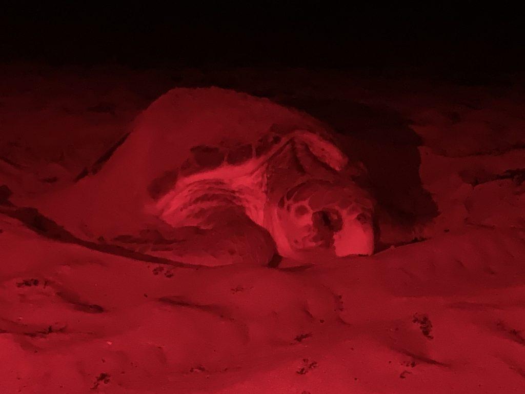 Thousands of female loggerhead sea turtles laid their eggs on Loggerhead Marinelife Center's 9.5-mile stretch of beach.Thousands of female loggerhead sea turtles laid their eggs on Loggerhead Marinelife Center's 9.5-mile stretch of beach.