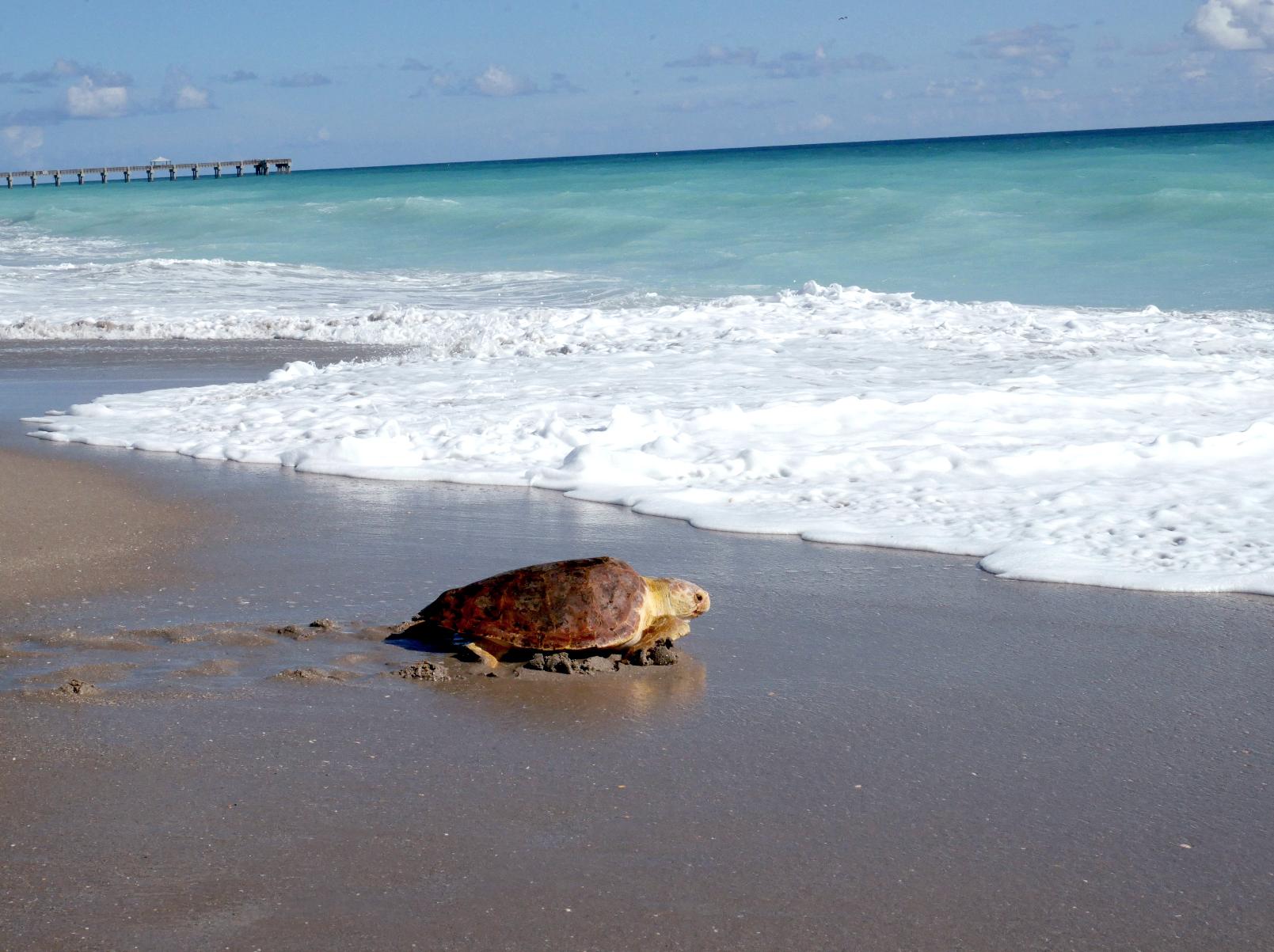 Sea Turtle Suzanne, Heads Back Home