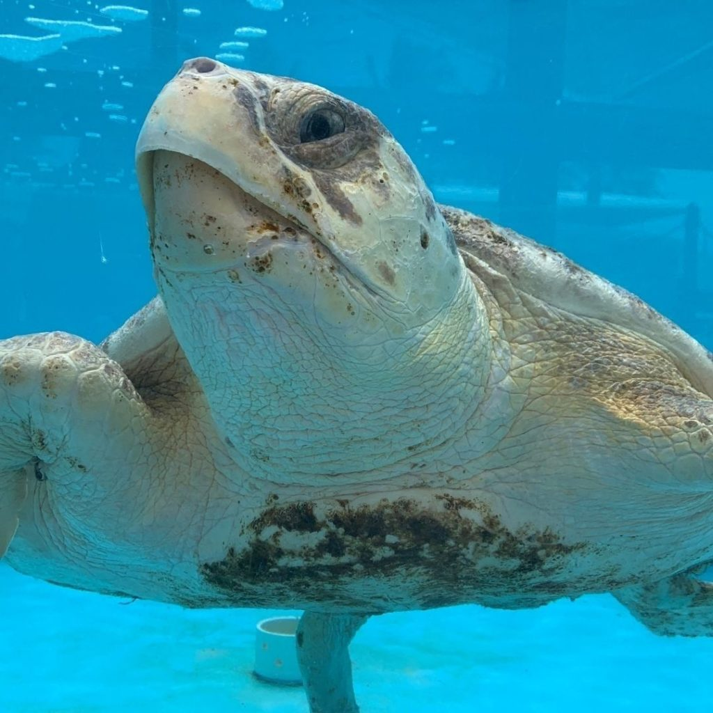 For its holiday sweepstakes, Loggerhead Marinelife Center offers supporters the chance to name a sea turtle patient.