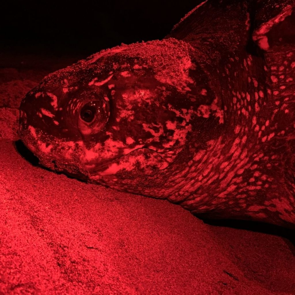 While Loggerhead Marinelife Center had many research highlights, our team especially celebrated that the rate of false crawls decreased during beach closures.