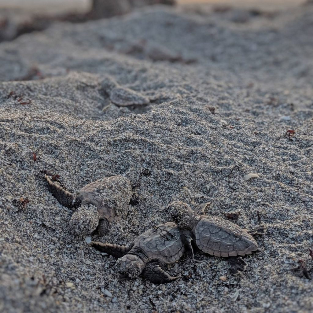 During the 2020 nesting season, Loggerhead Marinelife Center's research team monitored and protected nearly 17,000 sea turtle nests.