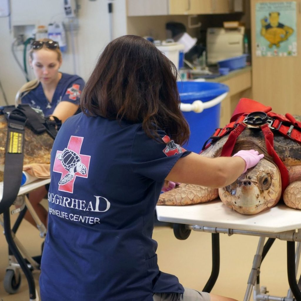 As of this year, Loggerhead Marinelife Center now proudly serves as the flagship U.S. hospital for the recently founded Sea Turtle Rescue Alliance (STRA).