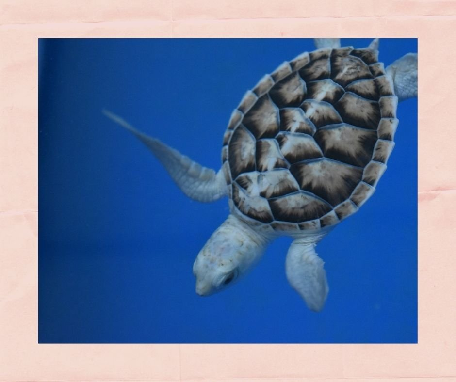 Enjoy a special date night by participating in a virtual tour of Loggerhead Marinelife Center's Outdoor Sea Turtle Hospital.