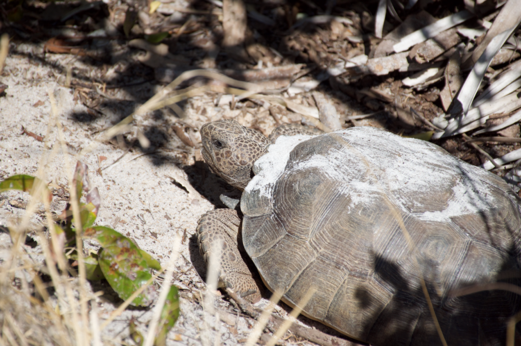 Gopher tortoises are a keystone species, which means that they play a crucial role in their ecosystem and other species depend on them for survival.