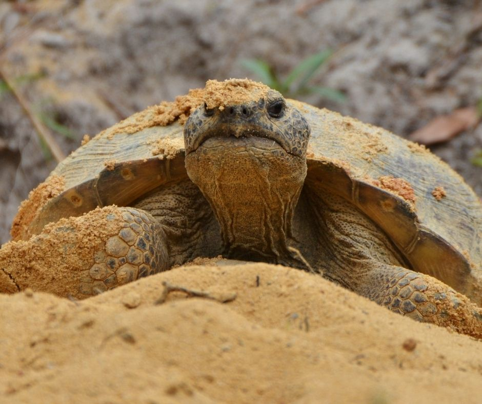 When visiting Loggerhead Marinelife Center, guests will often walk by a gopher tortoise burrow located in the nearby hammock.