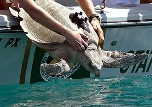 Burt Reynolds, an rlive ridley was released off Key West on August 16, 2017. It was rehabilitated at Loggerhead Marinelife Center in Juno Beach, Florida.