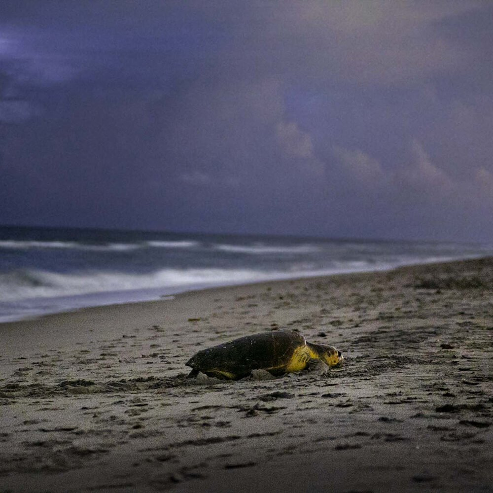 "A female loggerhead turtle makes her way up the beach looking for a place to lay her eggs on Juno Beach. Every 2-3 years, loggerheads mate in coastal waters and then return to nest on the very same beach where they were hatched, called the ""natal"" beach."